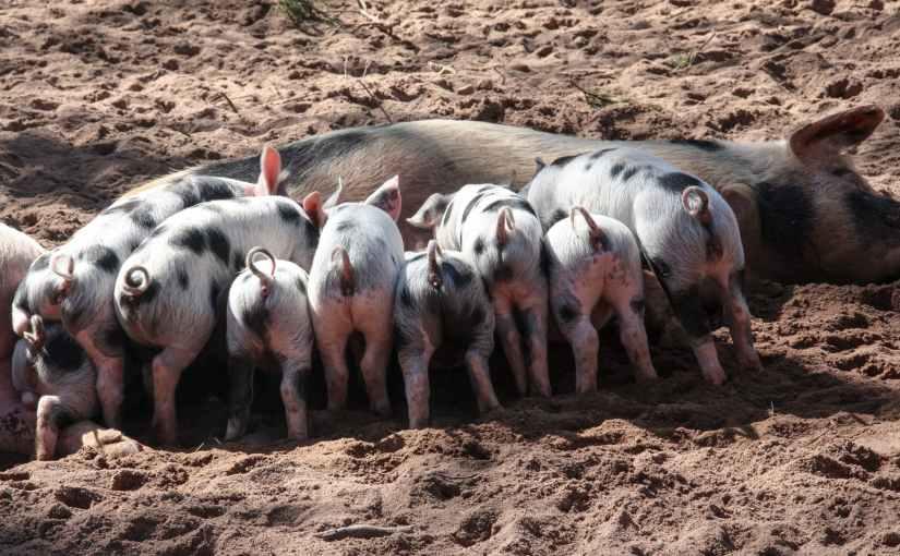 Schweine sind dem Menschen näher verwandt, als den Schweinen liebist
